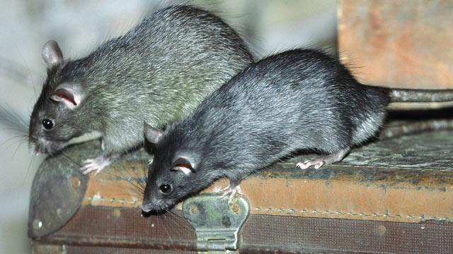 Was Tun Gegen Ratten Im Garten Cheap Was Tun Gegen Ratten Im Garten
